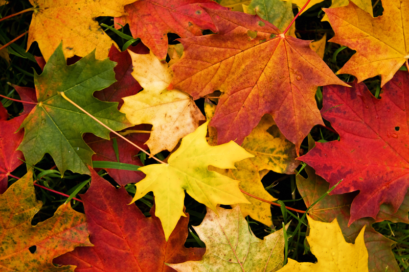 colourful leaves in autumn